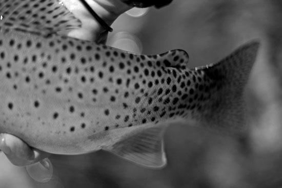 trout_web